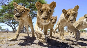 rc-camera-buggy-meets-a-pride-of-lions-008